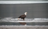Steider Studios: Eagle on the Columbia at Hood River